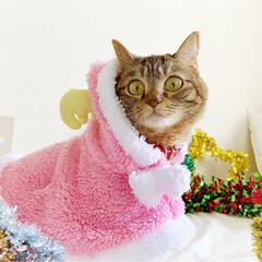小悪魔/ねこ/ベンガル猫/ベンガルキャット/ベンガル/スコティッシュ/... ともにゃんは、可愛いピンクのトナカイさん…(9枚目)