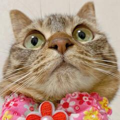 ふわもこ部/猫部/ねこ/保護猫/スコティッシュフォールド/スコティッシュ/... 友子ちゃんのドアップ😻💕 よ~く見てると…(4枚目)