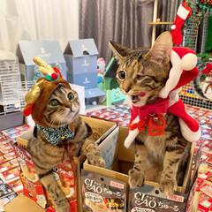 プレゼント/トナカイ/お菓子/ちゅーる/サンタクロース/アメリカンショートヘア/... ぼく達が、にゃんこのみんなに ちゅーるを…(5枚目)