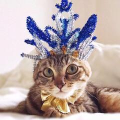 小悪魔/Mix猫/スコティッシュフォールド/スコティッシュ/保護猫/LIMIAペット同好会/... 友にゃん プリンセスになって…💓 キメて…