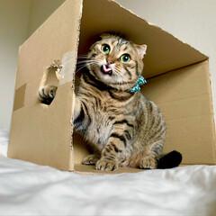 猫/ねこ/エコ/ダンボール/スコティッシュフォールド/スコティッシュ/... ダンボールって 何でこんなに落ち着くにゃ…