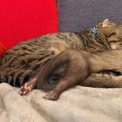 スコティッシュフォールド/スコティッシュ/小動物/フェレット/LIMIAペット同好会/フォロー大歓迎/... ぼくの小さい弟は 眠りながらよく動くにゃ…(3枚目)