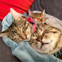 ふわもこ部/ベンガル/子猫/保護猫/スコティッシュフォールド/スコティッシュ/... お布団に入って 兄弟仲良く、おやすみなさ…
