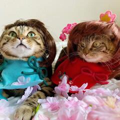初節句/雛祭り/ひな祭り/アメショ/アメリカンショートヘア/子猫/... ぼくの、大好きな妹🙈💕 友子ちゃんと桃子…(2枚目)