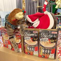 プレゼント/トナカイ/お菓子/ちゅーる/サンタクロース/アメリカンショートヘア/... ぼく達が、にゃんこのみんなに ちゅーるを…(10枚目)