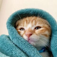 リミアペット同好会/リミアペット/猫部/次のコンテストはこれだ!/ベビー/スコティッシュフォールド/... お久しぶりの投稿! 里親として家族に迎え…(3枚目)