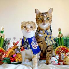リミアペット同好会/子猫/ベンガル/スコティッシュフォールド/お正月2020/キャンドゥ/... お兄ちゃんと弟で 新年仲良く 仲良し真似…(3枚目)
