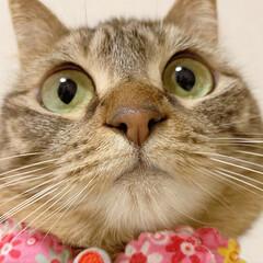 ふわもこ部/猫部/ねこ/保護猫/スコティッシュフォールド/スコティッシュ/... 友子ちゃんのドアップ😻💕 よ~く見てると…(2枚目)