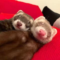 兄弟/寝相/お昼寝/エキゾチックアニマル/小動物/フェレット/... なかよくスヤスヤ😴 双子のような兄弟🐻❤…(3枚目)