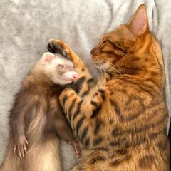 ねこ/ベンガル猫/ベンガルキャット/ベンガル/小動物/フェレット/... 俺の弟は、甘えんぼうだにゃん😸💕💕🐻  …