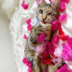 バレンタイン/アメリカンショートヘア/保護猫/LIMIAペット同好会/ペット/ペット仲間募集/... ももたん、バレンタインに向けて可愛くグラ…