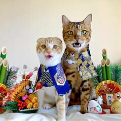 リミアペット同好会/子猫/ベンガル/スコティッシュフォールド/お正月2020/キャンドゥ/... お兄ちゃんと弟で 新年仲良く 仲良し真似…(2枚目)