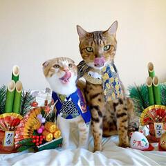 リミアペット同好会/子猫/ベンガル/スコティッシュフォールド/お正月2020/キャンドゥ/... お兄ちゃんと弟で 新年仲良く 仲良し真似…(7枚目)