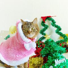 小悪魔/ねこ/ベンガル猫/ベンガルキャット/ベンガル/スコティッシュ/... ともにゃんは、可愛いピンクのトナカイさん…(6枚目)