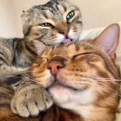 兄弟/猫部/ベンガルキャット/猫/ベンガル/ねこ/... ティノの愛情表現は 世界1🌎だにゃおー🥰…(3枚目)