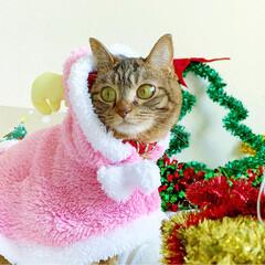 小悪魔/ねこ/ベンガル猫/ベンガルキャット/ベンガル/スコティッシュ/... ともにゃんは、可愛いピンクのトナカイさん…(5枚目)