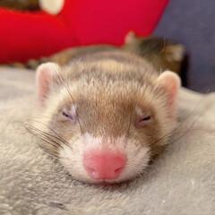 スコティッシュフォールド/スコティッシュ/小動物/フェレット/LIMIAペット同好会/フォロー大歓迎/... ぼくの小さい弟は 眠りながらよく動くにゃ…(10枚目)