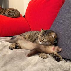スコティッシュフォールド/スコティッシュ/小動物/フェレット/LIMIAペット同好会/フォロー大歓迎/... ぼくの小さい弟は 眠りながらよく動くにゃ…(4枚目)