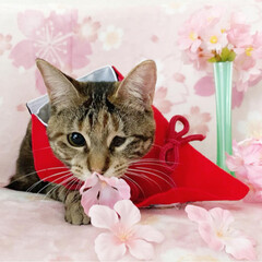 初節句/雛祭り/ひな祭り/アメショ/アメリカンショートヘア/保護猫/... ももちゃん 初めてのひな祭り🌸✴🎎✴🌸 …(9枚目)