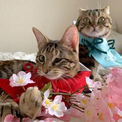 初節句/雛祭り/ひな祭り/アメショ/アメリカンショートヘア/子猫/... ぼくの、大好きな妹🙈💕 友子ちゃんと桃子…(6枚目)