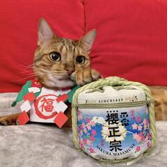 酒/日本酒/招き猫/ふわもこ部/ベンガル/櫻正宗/... 招きねこの俺が 美味しいお酒を おつぎす…