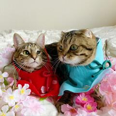 初節句/雛祭り/ひな祭り/アメショ/アメリカンショートヘア/子猫/... ぼくの、大好きな妹🙈💕 友子ちゃんと桃子…(9枚目)