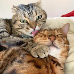 兄弟/猫部/ベンガルキャット/猫/ベンガル/ねこ/... ティノの愛情表現は 世界1🌎だにゃおー🥰…(6枚目)