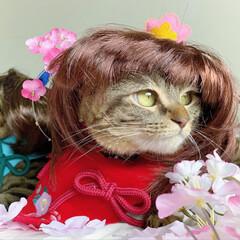 初節句/雛祭り/ひな祭り/アメショ/アメリカンショートヘア/子猫/... ぼくの、大好きな妹🙈💕 友子ちゃんと桃子…(4枚目)