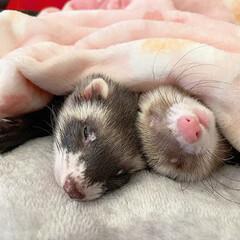保護猫/エキゾチックアニマル/小動物/フェレット/平成最後の一枚/春のフォト投稿キャンペーン/... 双子のような 小さなくまちゃん兄弟🐻❤️…(2枚目)