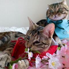 初節句/雛祭り/ひな祭り/アメショ/アメリカンショートヘア/子猫/... ぼくの、大好きな妹🙈💕 友子ちゃんと桃子…(7枚目)