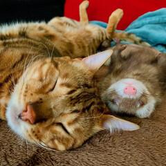 お昼寝アート/兄弟/エキゾチックアニマル/小動物/フェレット/猫/... 俺にいっつもくっついてくる 小さな弟…に…