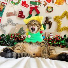 友子ちゃんとお兄ちゃん/ふわもこ部/コスプレ/スコティッシュフォールド/スコティッシュ/おうち/... ぼく、クリスマスツリーに 変身したにゃん…