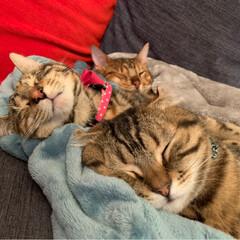 ふわもこ部/ベンガル/子猫/保護猫/スコティッシュフォールド/スコティッシュ/... お布団に入って 兄弟仲良く、おやすみなさ…(2枚目)