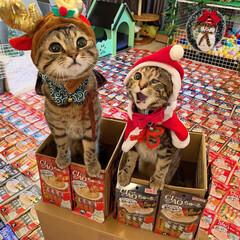 プレゼント/トナカイ/お菓子/ちゅーる/サンタクロース/アメリカンショートヘア/... ぼく達が、にゃんこのみんなに ちゅーるを…