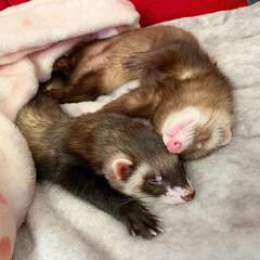 保護猫/エキゾチックアニマル/小動物/フェレット/平成最後の一枚/春のフォト投稿キャンペーン/... 双子のような 小さなくまちゃん兄弟🐻❤️…(4枚目)