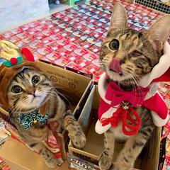プレゼント/トナカイ/お菓子/ちゅーる/サンタクロース/アメリカンショートヘア/... ぼく達が、にゃんこのみんなに ちゅーるを…(6枚目)