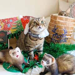 保護猫/猫部/スコティッシュフォールド/スコティッシュ/小動物/フェレット/... もうすぐクリスマス🎅🏼🎄🎂🍷🎁⛄️🎉