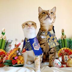 リミアペット同好会/子猫/ベンガル/スコティッシュフォールド/お正月2020/キャンドゥ/... お兄ちゃんと弟で 新年仲良く 仲良し真似…(6枚目)