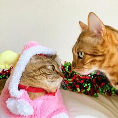 小悪魔/ねこ/ベンガル猫/ベンガルキャット/ベンガル/スコティッシュ/... ともにゃんは、可愛いピンクのトナカイさん…(2枚目)