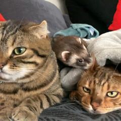 ふわもこ部/スコティッシュフォールド/スコティッシュ/赤ちゃんのいる生活/子猫/エキゾチックアニマル/... 男子組が集合してたのだけど、ちびっ子がガ…(6枚目)