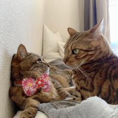 スコティッシュフォールド/スコティッシュ/ベンガルキャット/保護猫/ベンガル/子猫/... 壁ドン壁 |  )⊂(´ω`)笑🤭💕  …