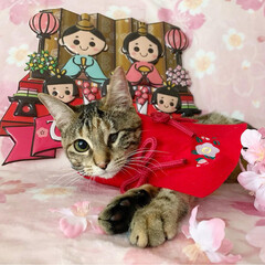 初節句/雛祭り/ひな祭り/アメショ/アメリカンショートヘア/保護猫/... ももちゃん 初めてのひな祭り🌸✴🎎✴🌸 …(5枚目)