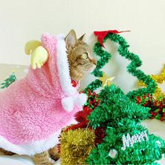 小悪魔/ねこ/ベンガル猫/ベンガルキャット/ベンガル/スコティッシュ/... ともにゃんは、可愛いピンクのトナカイさん…(7枚目)