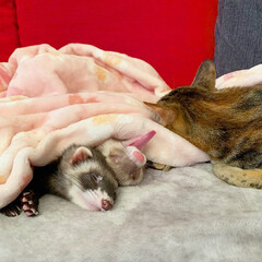保護猫/エキゾチックアニマル/小動物/フェレット/平成最後の一枚/春のフォト投稿キャンペーン/... 双子のような 小さなくまちゃん兄弟🐻❤️…(6枚目)