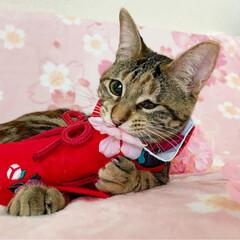 初節句/雛祭り/ひな祭り/アメショ/アメリカンショートヘア/保護猫/... ももちゃん 初めてのひな祭り🌸✴🎎✴🌸 …(6枚目)