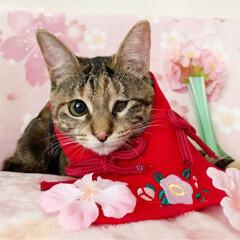 初節句/雛祭り/ひな祭り/アメショ/アメリカンショートヘア/保護猫/... ももちゃん 初めてのひな祭り🌸✴🎎✴🌸 …(7枚目)