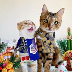 リミアペット同好会/子猫/ベンガル/スコティッシュフォールド/お正月2020/キャンドゥ/... お兄ちゃんと弟で 新年仲良く 仲良し真似…(5枚目)