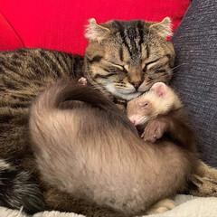 スコティッシュフォールド/スコティッシュ/小動物/フェレット/LIMIAペット同好会/フォロー大歓迎/... ぼくの小さい弟は 眠りながらよく動くにゃ…(7枚目)