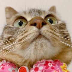 ふわもこ部/猫部/ねこ/保護猫/スコティッシュフォールド/スコティッシュ/... 友子ちゃんのドアップ😻💕 よ~く見てると…(3枚目)