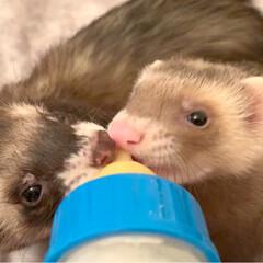 粉ミルク/エキゾチックアニマル/小動物/フェレット/哺乳瓶/ベビー/... 仲良し兄弟❤️ 一緒にミルクをちゅぱちゅ…